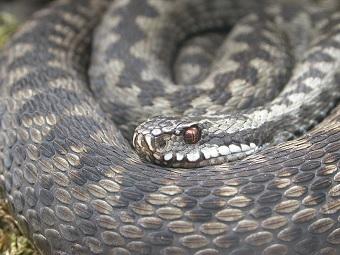 Kyykäärme, la serpiente venenosa que puede arruinar tus vacaciones en Finlandia