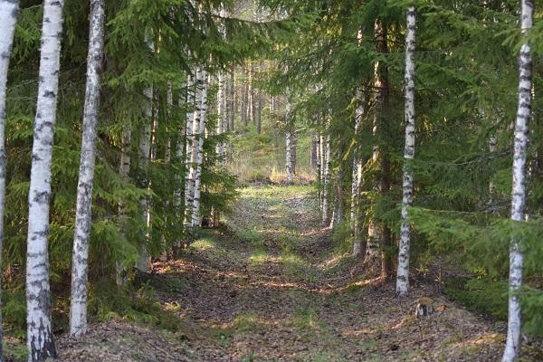 bosque camino Finlandia