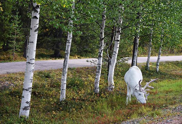 Conducir Laponia renos