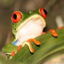 conga grenouille