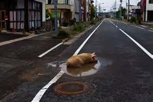 Dans la zone irradiée,un porc évadé se prélasse dans un trou d'eau.