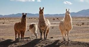 Llamas están entre mis animales favoritos.  Ser joven, soñaba con la cría.