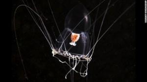 Méduse  Halitholus Mer Blanche Russie.Une variété totalement translucide.