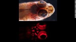 Un blenny triplefin (sp Enneapterygius.) Sous la lumière blanche de juin , Au-dessus, et à la lumière bleue, ci-Dessous.