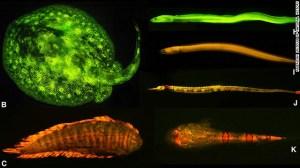 Les chercheurs ont découvert une riche diversité de motifs fluorescents et les couleurs dans les poissons marins, comme en témoigne ici: B) ray (Urobatis jamaicensis), C) seul (Soleichthys heterorhinos), H) murène faux (Kaupichthys de brachychirus), I) Chlopsidae (Kaupichthys nuchalis ), J) pipefish (Corythoichthys haematopterus), K) sable astronome (Gillellus uranidea).