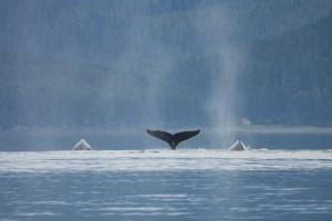 Humpback_whales_in_Juneau_Alaska