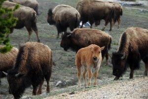 Toutes mes pensées vont  vers ces superbes Bisons du Parc de Yellowstone.Je leur souhaite de vivre le plus longtemps possible./ All my thoughts are with these great Bisons Park Yellowstone.Je wants them to live as long as possible.