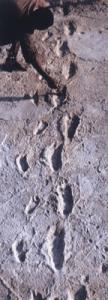 Les empreintes ci-dessous ont été trouvées dans le site de Laetoli en Tanzanie et datent de 3,8 millions d'années. Ce sont les pas laissés dans la boue par un(e) adulte et un enfant, qui ont ensuite été recouverts par des cendres volcaniques et que l'érosion a finalement découverts.