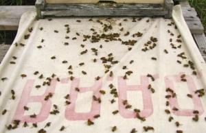 Un drap blanc positionné devant les ruches permettait de compter les mortalités. Après autopsie, près de 25 % des abeilles mortes contenaient des néonicotinoïdes. © Olivier Samson-RobertDes effets sur les abeilles... et les humains?