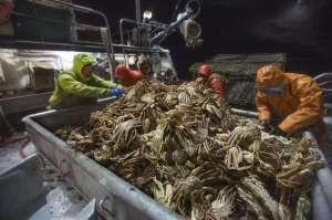 La pêche industrielle du crabe de l'Alaska aura tôt fait de le faire disparaître. Le droit des américains et des consommateurs capitalistes de bouffer leur repas de crabes doit être maintenu.