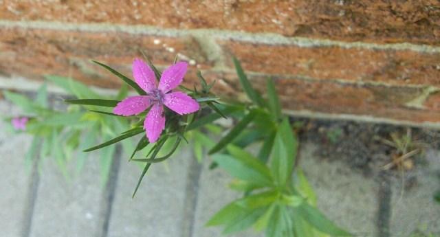 Une petite fleur qui s'est faufilée par une craque au pied d'un mur.