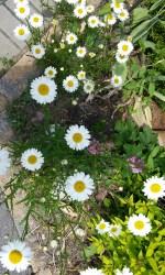 Image de mon jardin: après tant de journées fraîches, les marguerites éclatent de bonheur!