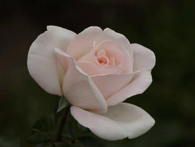 Une rose blanche en souvenir d'elles