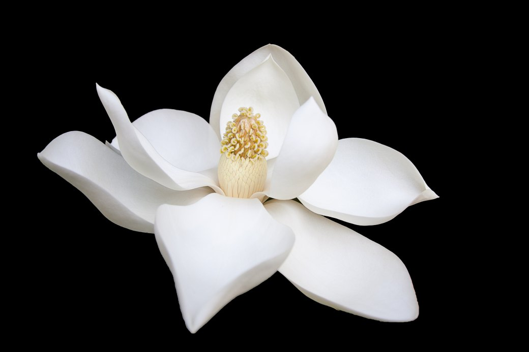 white magnolia purity