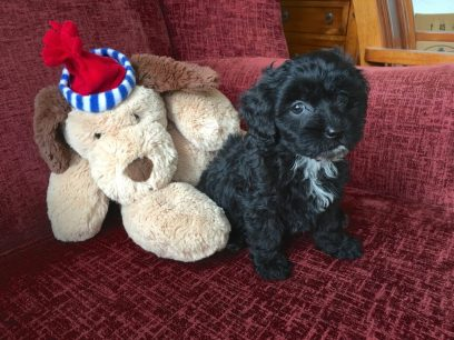 Malshi pups and Shih poo pups for sale florida michelines pups01