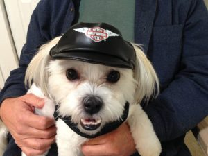 mal-shi pup for sale florida harley hat