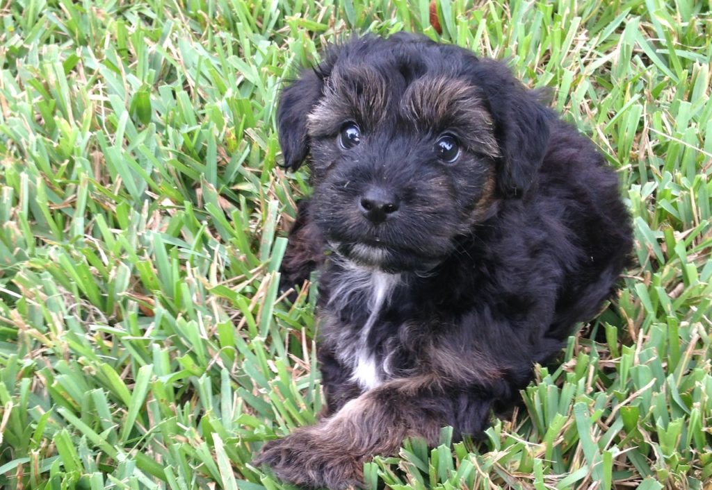 Yorkie Poo Pups for sale in Ocala Florida - Gizmo ...