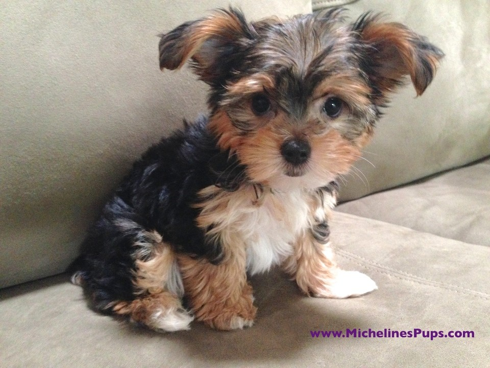morkie for sale florida michelines pups 4