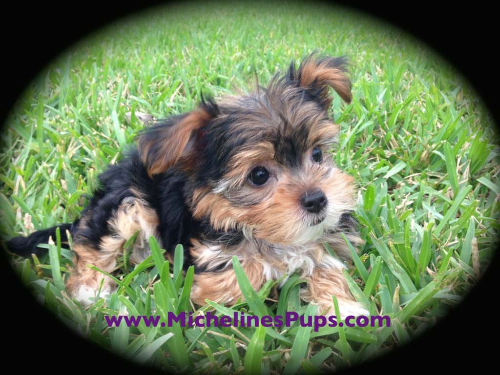 yorkie mix for sale morkie or maltese yorkie pups for sale in florida 499