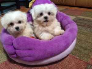 Tiny Adorable Maltese Shih Tzu Mix Pup Dolly Michelines Pups