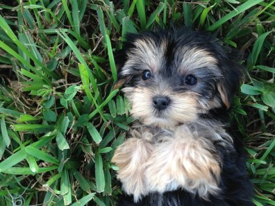Beautiful Morkie Or Maltese Yorkie Mix Pups For Sale In Ocala