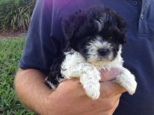 Maltipoo for sale Ocala Florida 1