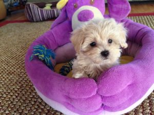 Maltipoo for sale Ocala Florida 3