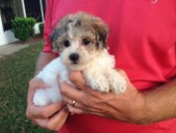 maptipoo pups parti colored for sale ocala florida michelines pups