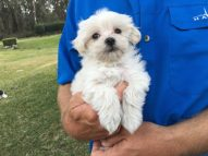 maltipoo pups for sale florida michelines pups1
