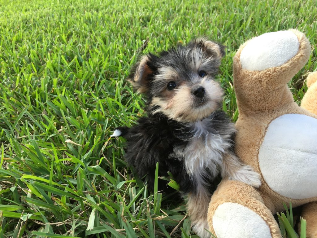 Tiny Morkie Or Maltese Yorkie Pups For Sale Florida Michelines Pups3