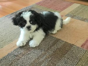 Adorable Black And White Shih Poos Michelines Pups Michelines Pups