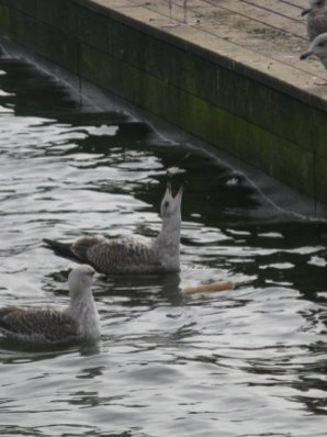Birds in the canals of Nørrebro.