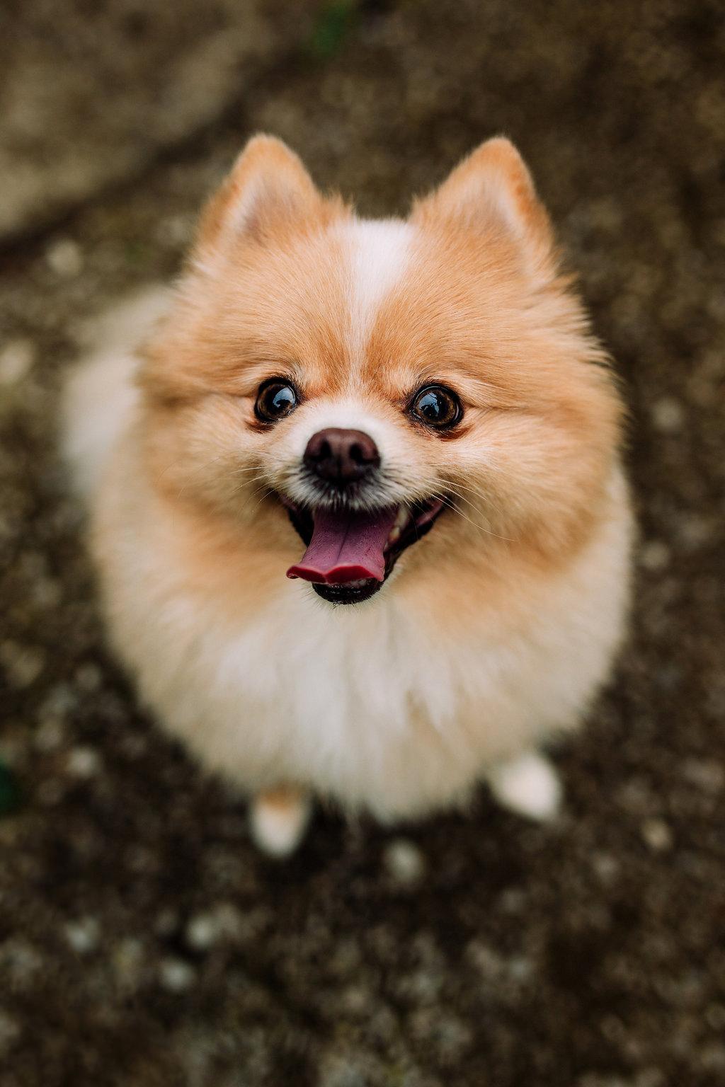 Pomeranian-Portrait-Smiling-Ellie