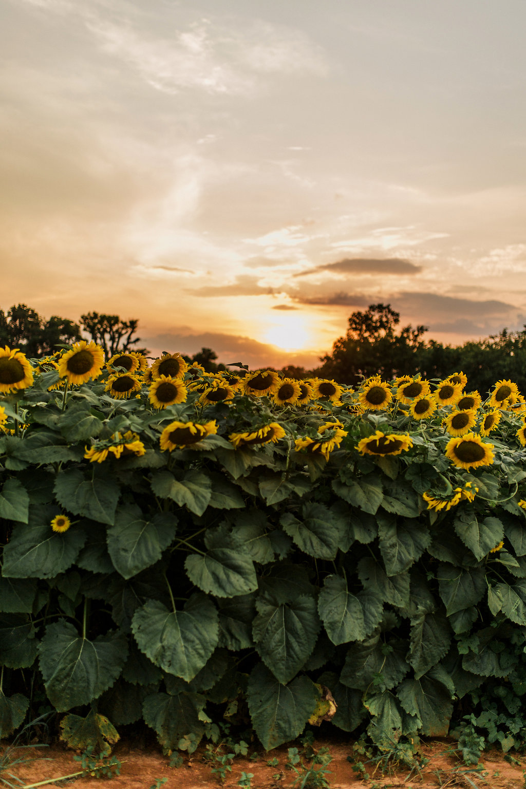 Sunflower-Maternity-Nashville-Tennessee-Field-Batey-Farms-9