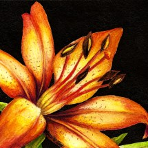 Lily Orange watercolor painting by michelle east