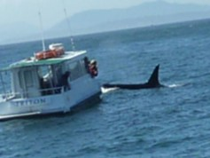 A boat gets up close and personal wtih Mr. Orca