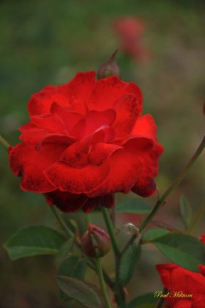 red rose the symbol of love