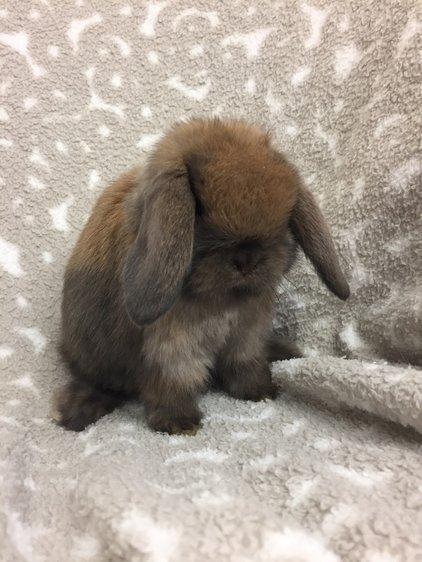 Mini Lop Rabbits For Sale Near Me : rabbits