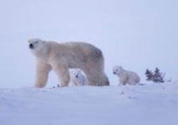 Polar_bears_2