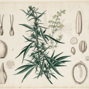 Cannabis sativa Botanische wandplaten