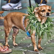 Marijuana Chihuahua Dog by Chris Yarzab