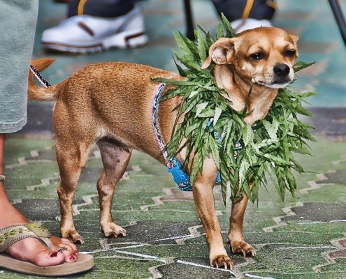 Marijuana Chihuahua Dog by Chris Yarzab