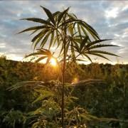 Whistlestop Farms Sun Grown Marijuana