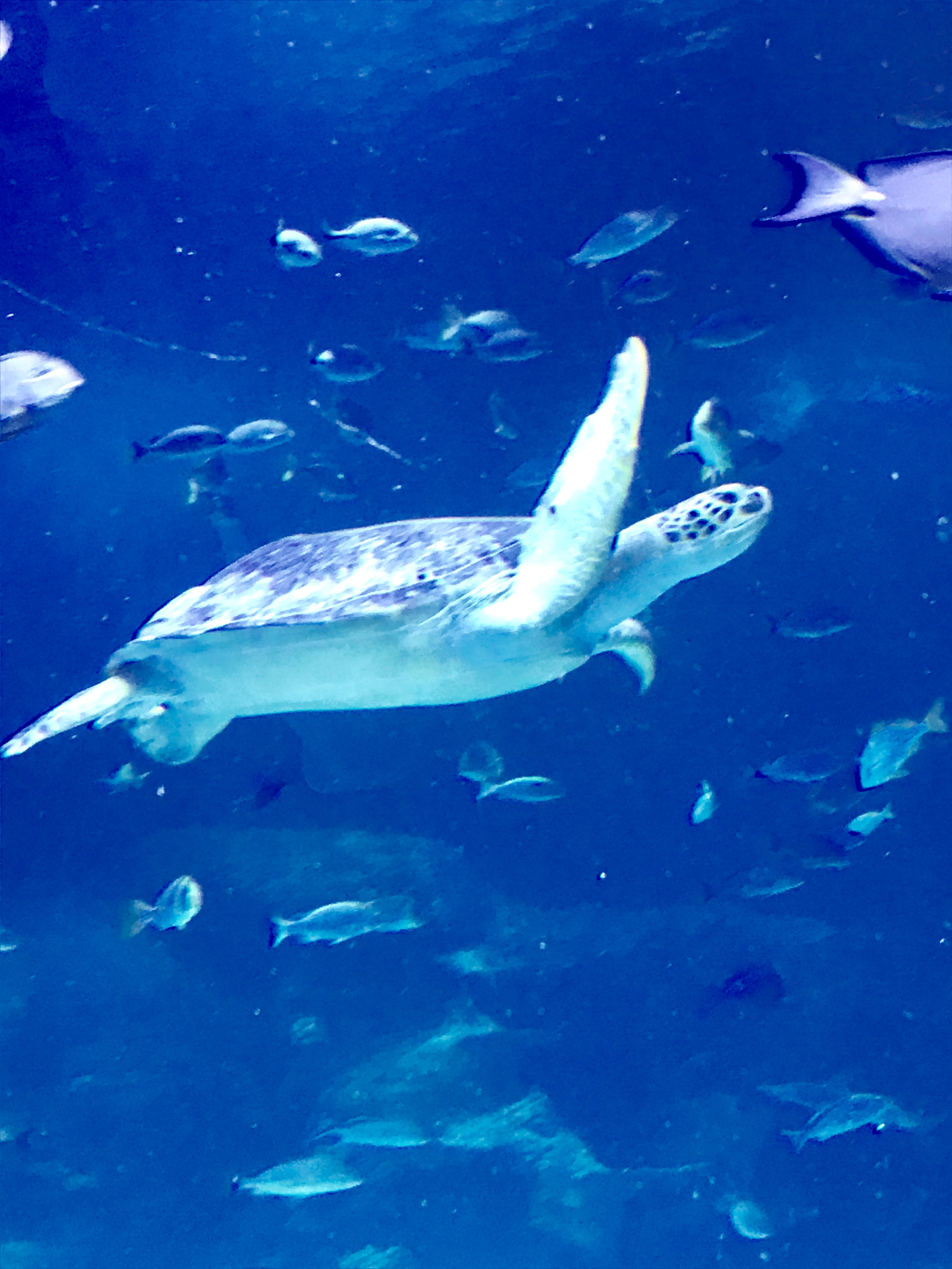 "Our Trip to #SeaLifeAquarium to Welcome ""Carr"" the Sea Turtle!"