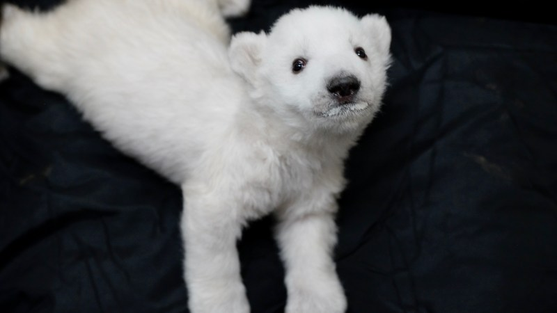 Two Polar Bear Cubs Born at the Detroit Zoo
