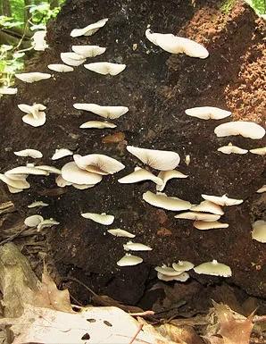 Crepidotus applanatus1