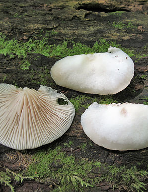 Crepidotus applanatus2