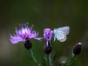 Karner Blue photo by Al Menk