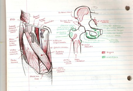 Reviewing anatomy lecture notes and looking at a plastic skeleton with origin and insertions of muscles painted on it