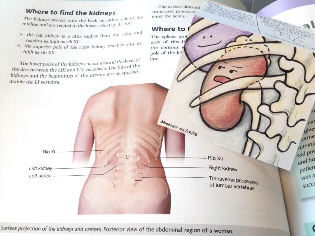 Surface Anatomy of Kidney Michiko Maruyama